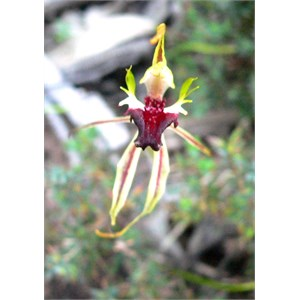 Spider or Mantis Orchid