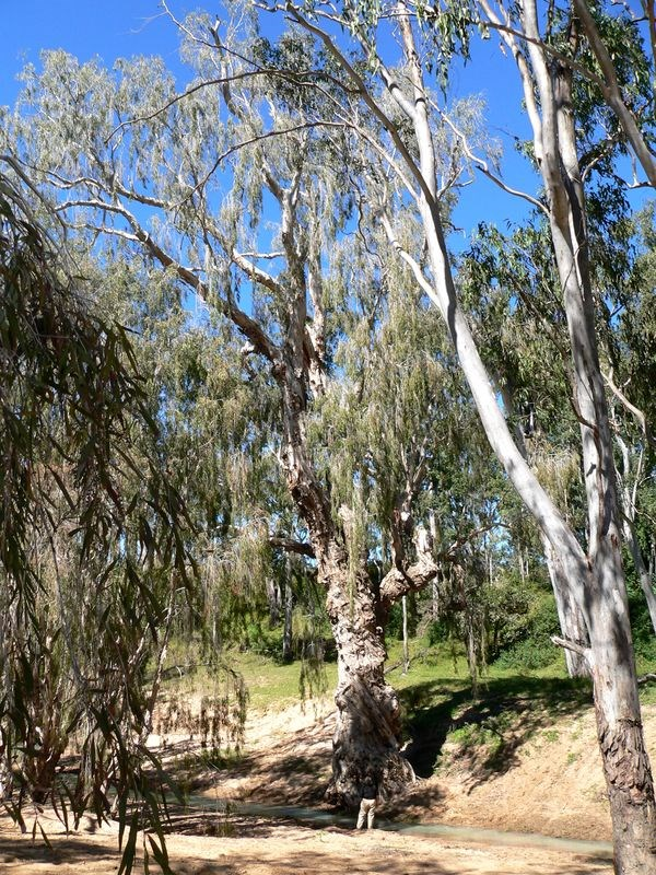 Cajeput Tree: Cajeput Tree, Paperbark @ ExplorOz Wildflowers