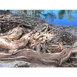 Cadjeput roots stabilise the banks of a waterhole, east Pilbara