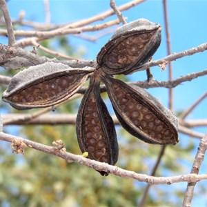 Brachychiton seed pod