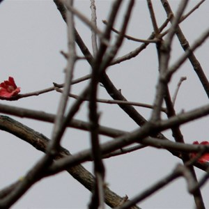 A few red flowers on the bare stems