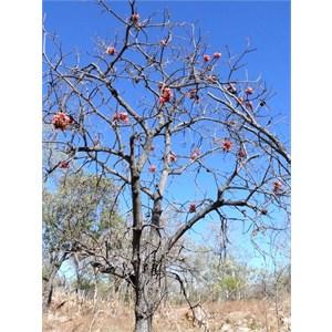 Brachychiton, deciduous in the dry season