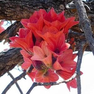 Brachychiton or Kimberley Rose