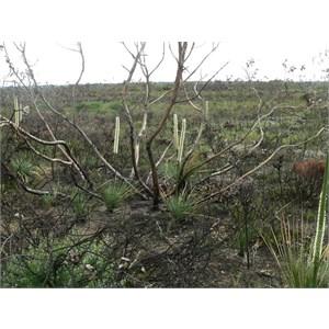 Recently burnt heath - lots of enamel orchids