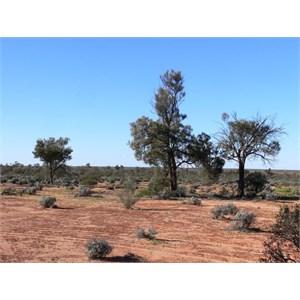 Casuarina pauper near Maralinga, SA