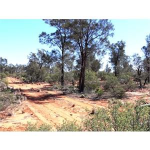 Casuarina pauper, Great Victoria Desert.