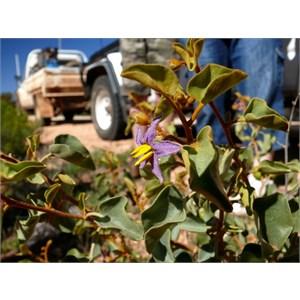 Solanum orbiculatum at Maralinga