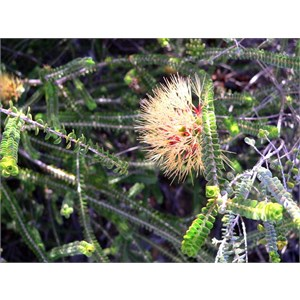 Beaufortia squarrosa, Kalbarri NP