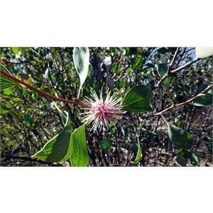 Sea Urchin Hakea - Hakea petiolaris
