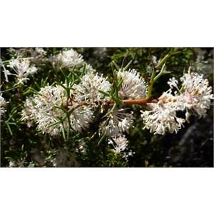 Honey Bush - Hakea lissocarpha