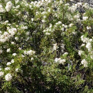 Honey Bush - Hakea lissocarpha