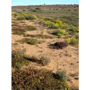 Flat mats of purslane in the foreground along a sand dune