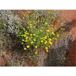 Fleshy Groundsel or Annual Yellow-top - Senecio gregorii