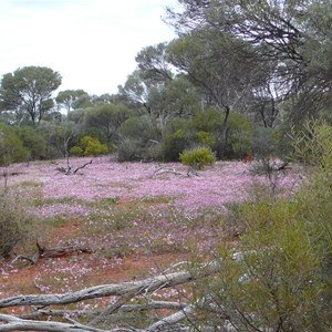 Pink Velleia - Velleia rosea