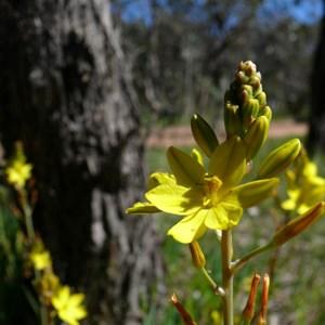 Bulbine bulbosa near Canberra