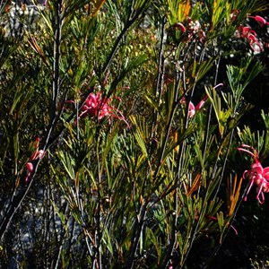 Bush covered in bright pink flowers