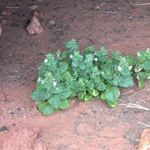 Nicotiana benthamiana, Canning SR