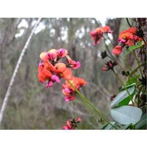Kennedia coccinea near Albany, WA