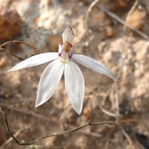 Sugar Orchid near Wave Rock, WA