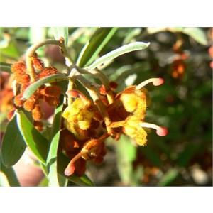 Grevillea floribunda