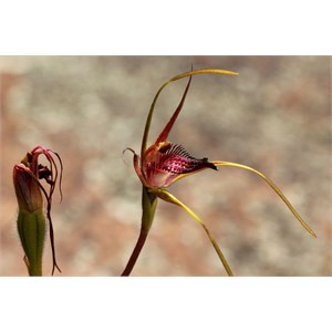 Broad lipped spider orchid, Caladenia applanata