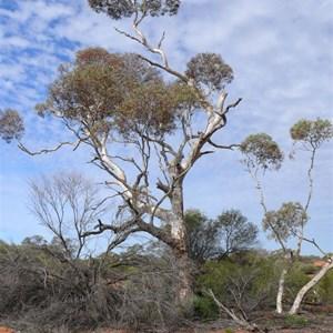 Marble Gum, Great Vistoria Desert, SA