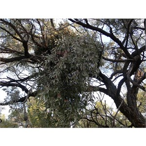 Amyema quandang - a mistletoe, near Cloncurry, Qld