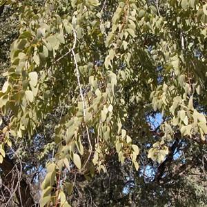 Bean Tree   ....  Lysiphyllum gilvum