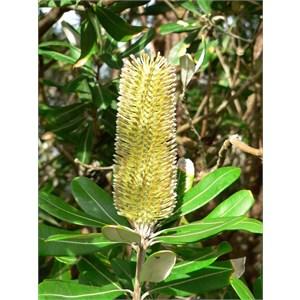 Banksia integrifolia, Myall Lakes NSW