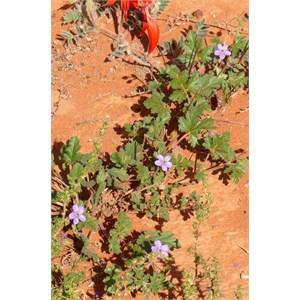 Blue Heronsbill near Andamooka, SA