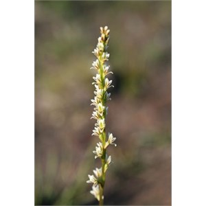 Little Leek Orchid