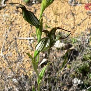 Pterostylis recurva, or Jug Orchid SW WA