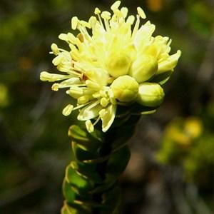 Phebalium rotundifolium