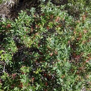 Olive Grevillea - Grevillia oleacea