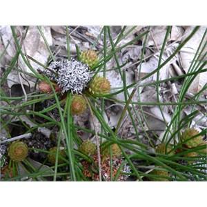 Petrophile longifolia, Stirling ranges NP, WA