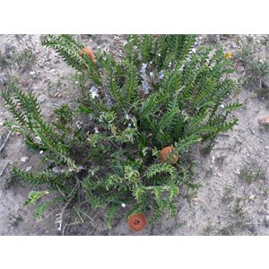 Banksia blechnifolia, Stirling Ranges NP, WA