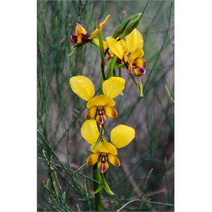 Diuris brumalis: 'Donkey orchid'