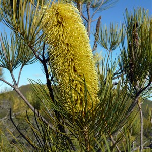 Pine Banksia - Banksia tricuspis