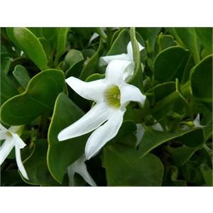 Sticky Ray-flower, Bremer Bay, WA