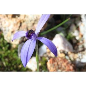 Blue Beard Orchid