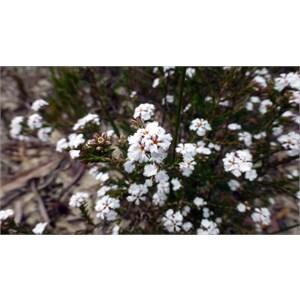 Leucopogon polymorphus