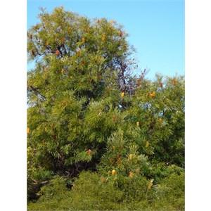 Swamp Banksia - Banksia littoralis