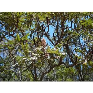 Bull Banksia - Banksia grandis
