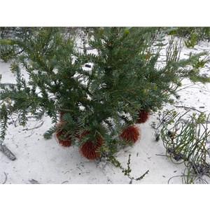 Nodding Banksia - Banksia nutans