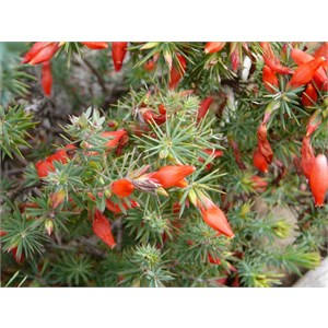 Candle Cranberry - Astroloma ciliatum