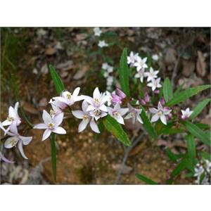 Crowea angustifolia var. platyphylla