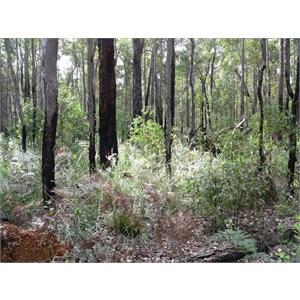 Crowea angustifolia var. platyphylla in jarrah forest, WA