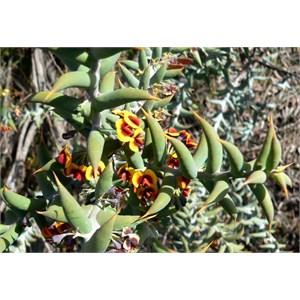 Ouch Bush, Daviesia pachyphylla near Jerramungup, WA