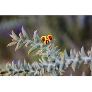 Daviesia pachyphylia: Ouch Bush.