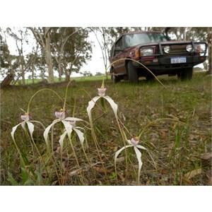 Stark White Spider Orchid
